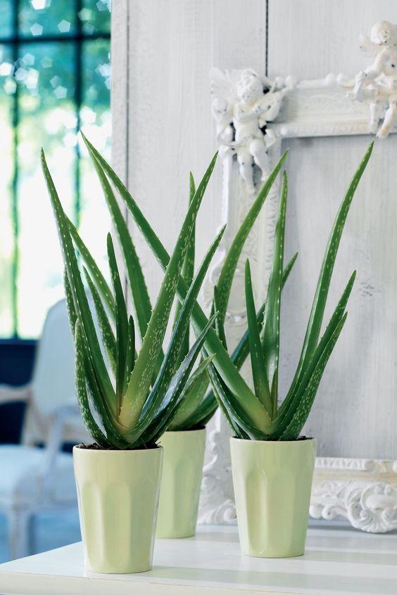 aloe plants in white pots