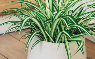 spider plant in a white pot