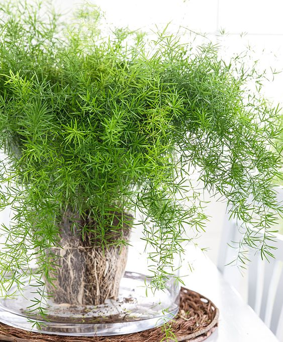 sprengeri or asparagus fern in a clear glass pot