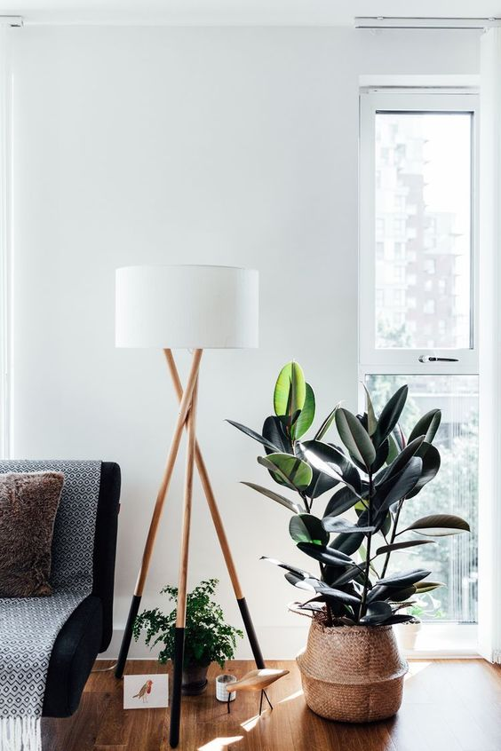 rubber plant in window corner of scandinavian room