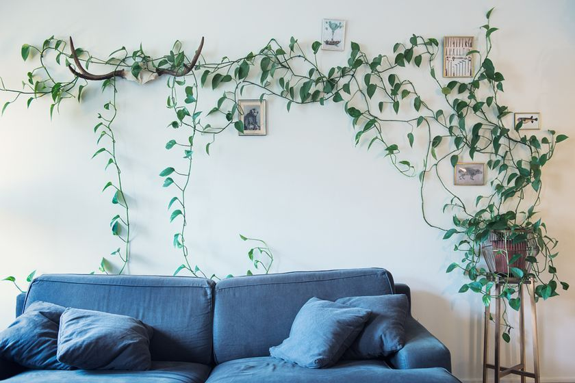 vine from pot on the stool, trailing across the wall, blue sofa