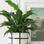 Peace Lilies In White Pot With Black Plaid Lines