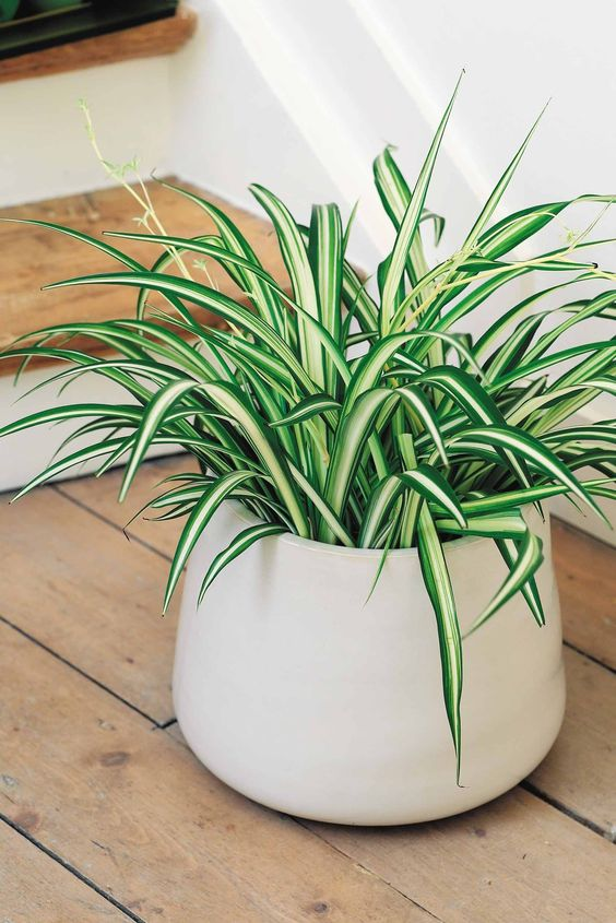 spider plant in a white pot