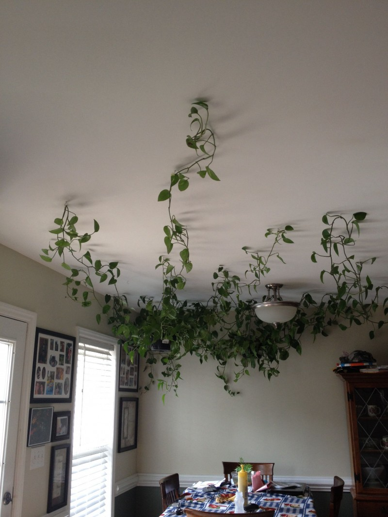 vines pot on the ceiling, vine trail on the ceiling from the corner, white ceiling lamp